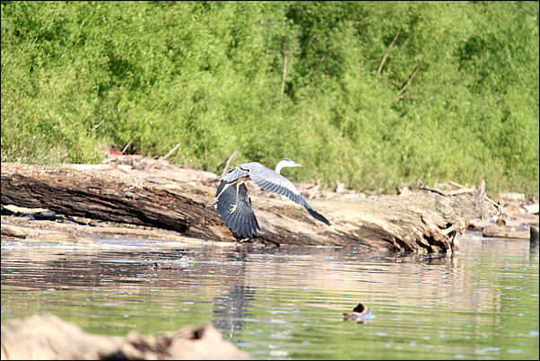 wildlife abounds on the Ohio River